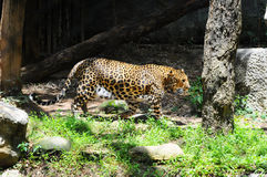 Leopard is walking in a zoo Stock Images