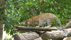 Leopard walks along in jungle in zoo. An animal. With a beautiful skin stock footage