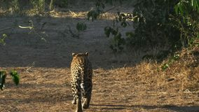 A leopard walks away from the camera in Masai Mara