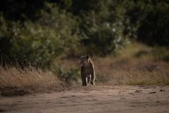 Leopard walks down sandy track on savannah stock images