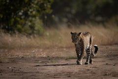 Leopard walks down track past long grass stock photo