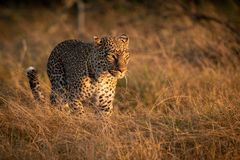 Leopard walks in long grass at dawn royalty free stock images