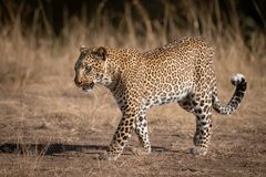Leopard walks over sandy ground in savannah royalty free stock image
