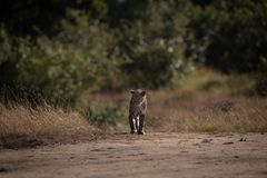 Leopard walks over sandy ground on savannah stock photography