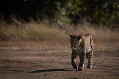 Leopard walks on sandy ground past trees stock photo