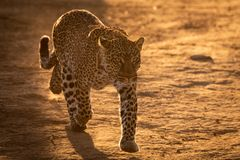 Leopard walks on savannah in golden light royalty free stock image