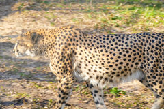 The leopard walks in the sun. Spring Royalty Free Stock Photos