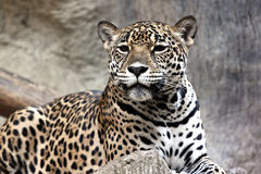 Leopard was watching something. Royalty Free Stock Images