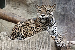 Leopard was watching something. Royalty Free Stock Photo