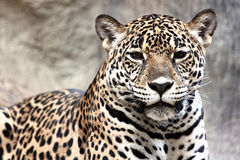 Leopard was watching something. Royalty Free Stock Photos