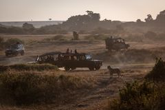 Leopard watching four safari trucks on savannah royalty free stock images