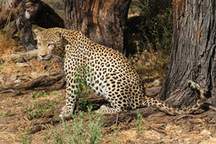 Leopard watching for prey Stock Images