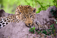 A Leopard watching proceedings dispassionately Royalty Free Stock Images