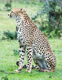 Leopard in the Wild. African Safari in Maasai Mara, Nairobi, Kenya Royalty Free Stock Photos