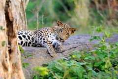 Leopard Stock Photos