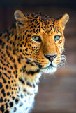 Leopard. In the wild on the island of Sri Lanka Stock Photography