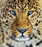 Leopard. In the wild on the island of Sri Lanka Stock Photos