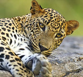 Leopard. In the wild on the island of Sri Lanka Stock Image