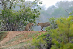 Leopard. In the wild on the island of Sri Lanka Stock Images