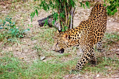 Leopard in the wild. Leopard, Panther or Panthera pardus walking in the wild on the ground look for prey to feed Stock Image