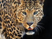 Leopard. Wild Leopard in the tropical African savanna Royalty Free Stock Photos
