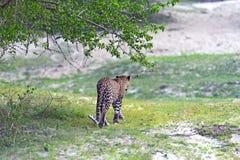Leopard Stock Photos