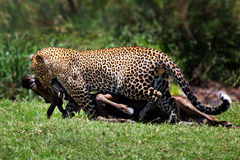 Leopard with wildebeest prey, Masai Mara Stock Photography
