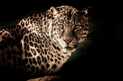 Leopard, Wildlife, Jaguar, Terrestrial Animal stock photo