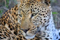 Leopard, Wildlife, Terrestrial Animal, Jaguar Stock Image