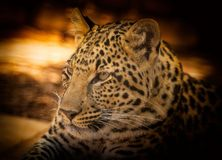 Leopard, Wildlife, Terrestrial Animal, Jaguar stock photos
