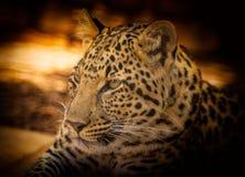 Leopard, Wildlife, Terrestrial Animal, Jaguar Stock Photos
