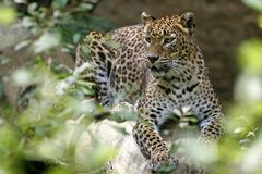 Leopard, Wildlife, Terrestrial Animal, Jaguar royalty free stock image