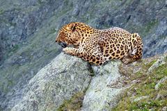Leopard at wildness area Royalty Free Stock Photography