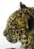 Leopard in winter. Leopard head in winter on the snow looking straight Royalty Free Stock Images