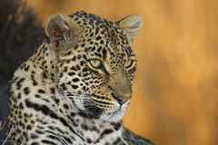 Leopard in winter colours Stock Photography