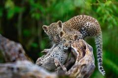 Leopard wirft das Spielen auf einem trockenen Baum auf Masai Mara, Kenia lizenzfreies stockfoto