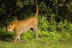 Leopard at Yala National Park , Sri Lanka. A leopard looking for food at sunrise in Yala National Park, located in Sri Lanka stock photos