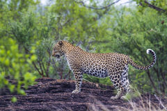 Leopard in Yala national park, Sri Lanka Stock Images