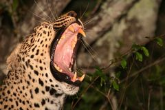 Leopard yawning Royalty Free Stock Photos