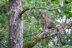 Leopard yawning Stock Photos