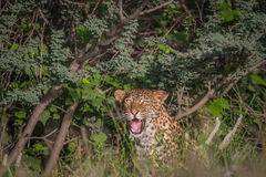 Leopard yawning in the bushes. Royalty Free Stock Photos