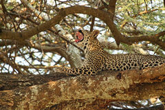 Leopard yawning on a tree Stock Photography
