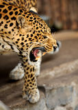 Leopard. Young leopard growls on dark background Stock Image