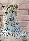 Leopard. A young leopard siting on a concrete slab .Scientific name: Panthera pardus stock images