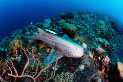 Leopard, zebra shark swimming over tropical reef. Royalty Free Stock Photography