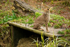 Leopard in zoo Royalty Free Stock Photography