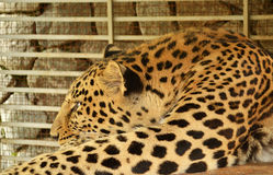 Leopard in zoo. Leopard in cage, in zoo Stock Image