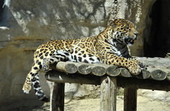 Leopard in a Zoo Royalty Free Stock Photo