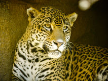 Leopard in Zoo Royalty Free Stock Photo
