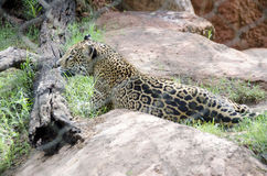 Leopard in a zoo Stock Image